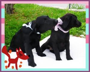 immagine dei cuccioli di labrador Otello e Tosca
