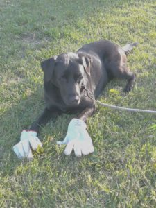 Labrador nero a terra con guanti da lavoro nelle zampine anteriori